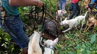 Ada Olahraga Berburu Babi di Jambi