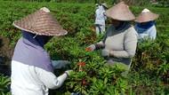 Petani Pacar Air di Jombang Panen Jelang Ramadan, Keuntungan Rp 20 Juta