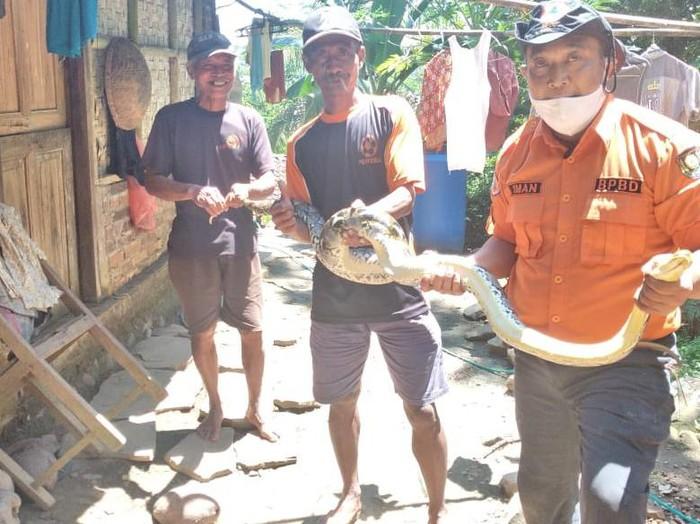 Ular piton 2 meter ditangkap di Purworejo, Senin (12/4/2021).