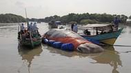 Mengkaji Penyebab Paus dan Orca Terdampar di Indonesia Butuh Waktu Panjang