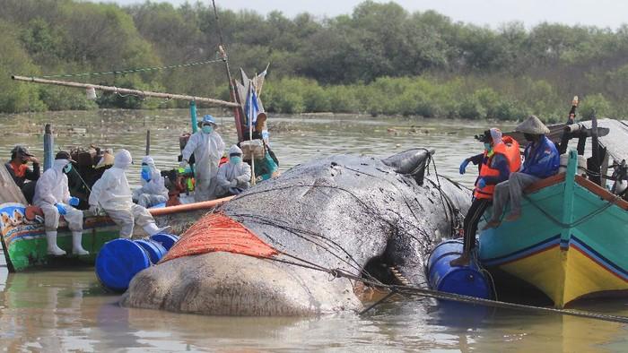 Sejumlah tim gabungan memeriksa bangkai ikan paus yang terdampar di pantai Bungko, Kapetakan, Kabupaten Cirebon, Jawa Barat, Selasa (13/4/2021). Bangkai ikan paus yang diduga jenis Paus Sperma (Physeter macrocephalus) sepanjang 15 meter itu ditemukan terdampar oleh nelayan dalam kondisi mati pada Minggu (11/4) lalu. ANTARA FOTO/Dedhez Anggara/foc.