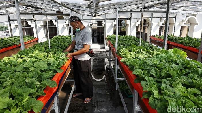 Supri menanam sayuran pakcoy, sawi dan selada dengan sistem penanaman aeroponik di kawasan atap Masjid Jami Attaqwa, Sunter Muara, Jakarta Utara, Selasa (13/4)