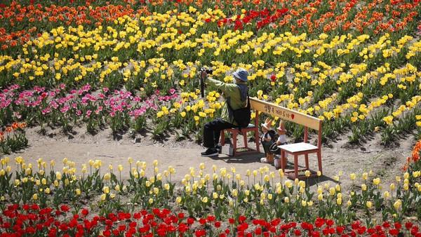 Seorang pengunjung memegang kamera di ladang tulip Paju, Korea Selatan, Rabu (14/4/2021) waktu setempat.