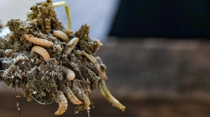 Maggot BSF Si Pengurai Sampah Organik