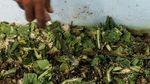 Ini Penampakan Maggot BSF Si Pengurai Sampah Organik