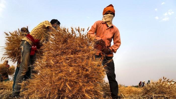 An Indian farmer woman carries wheat crop after harvest at Ganeshpur village, in Sonbhadra district of Uttar Pradesh state, India, Sunday, April 11, 2021. (AP Photo/Rajesh Kumar Singh)
