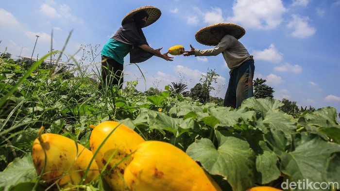 Para petani memanen buah timun suri di kawasan di Pancoran Mas, Depok, Jawa Barat, Rabu (14/4/2021).