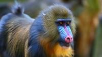 Disney Kedatangan Bayi Monyet Dukun