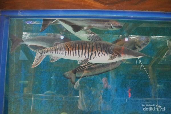 Koleksi ikan air tawar berukuran jumbo
