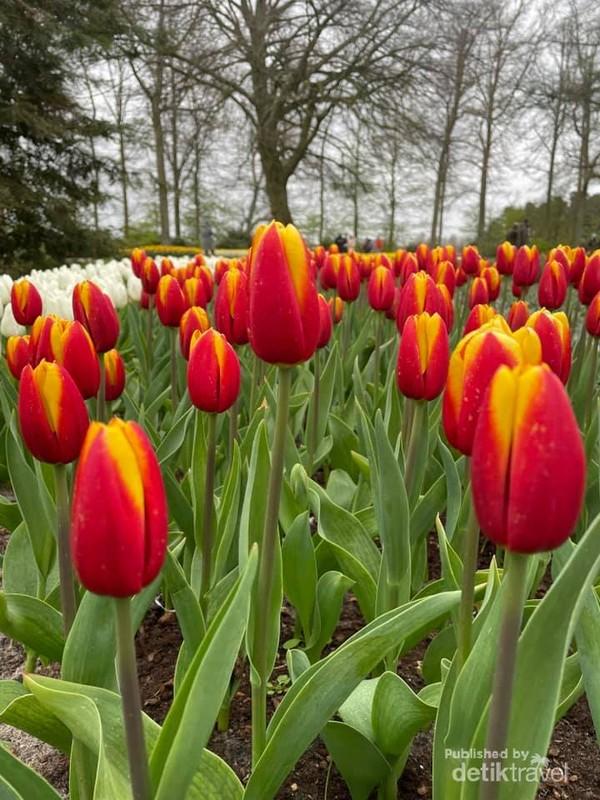 Keindahan tulip