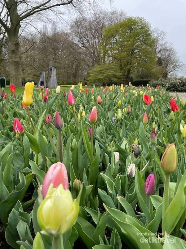 Aneka tulip