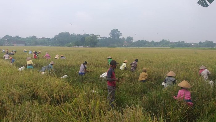 Warga memanen padi di tanah kas garapan Kades Tumpukan Kecamatan Karangdowo, Klaten.