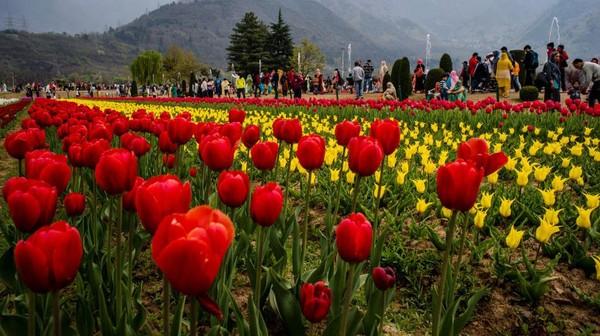 Musim semi adalah waktunya bunga tulip mekar. Lebih dari 1,5 juta tulip diperkirakan akan mekar selama musim semi di Srinagar.