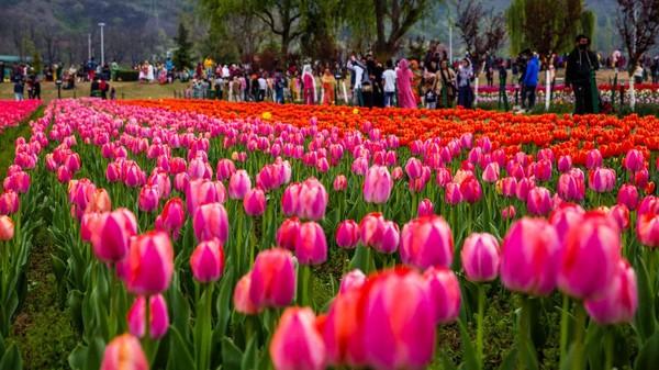 Taman tulip terbesar di Asia itu memiliki banyak varietas tulip.