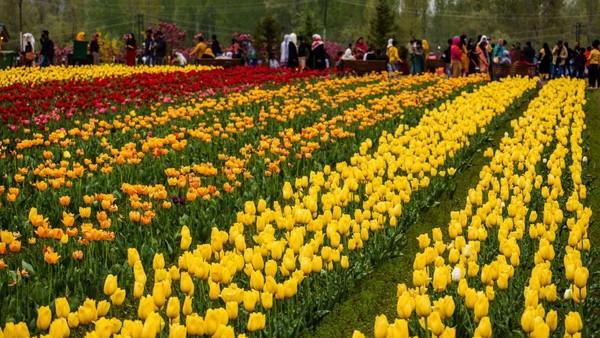 Luas taman tulip ini mencapai 12 hektar.