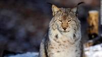Hewan Ini Punah di Alam Liar, Ilmuwan Menghidupkannya Lagi
