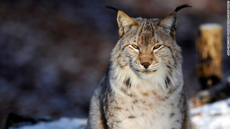 Hewan terancam punah dan program reintroduksi