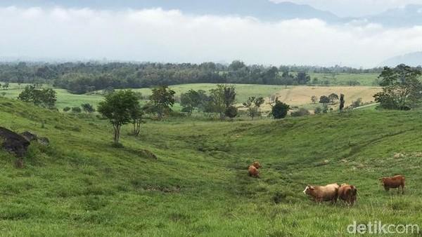 Padang Manggateh bisa ditempuh dengan perjalanan darat sekitar 3 jam-an dari Padang. Tapi kalau starting point-nya dimulai dari Kota Bukittinggi atau Payakumbuh, tentu lebih dekat lagi. Sapi-sapi bebas makan di sini. (Jeka Kampai/detikTravel)