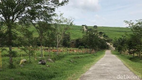 Tak perlu harus jauh-jauh ke New Zealand untuk melihat pemandangan padang rumput luas nan hijau. Di Sumbar juga ada, cukup datang ke Padang Mengatas (orang Padang mengenalnya dengan Padang Manggateh) di Kabupaten 50 Kota. (Jeka Kampai/detikTravel)