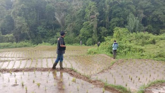 Harimau Sumatera meneror warga Jorong Cubadak Lilin dan Jorong Sari Bulan, Nagari Tigo Balai Kecamatan Matur, Kabupaten Agam, Sumbar (dok BKSDA Agam)