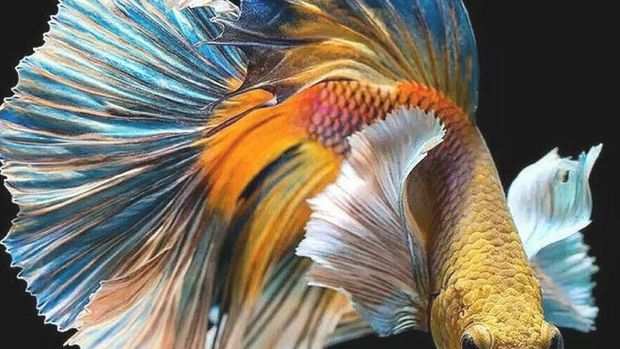 Peternakan Ikan Ini Khusus Ternak Ikan Cupang Petarung yang Ganas