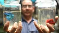 Peternakan Ikan Ini Khusus Ternak Ikan Cupang Aduan yang Ganas
