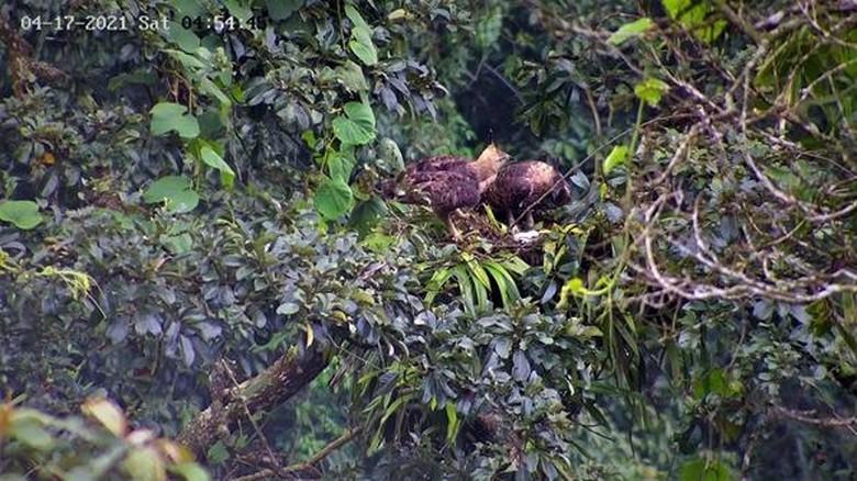 Elang Jawa di TN Gunung salak Halimun.