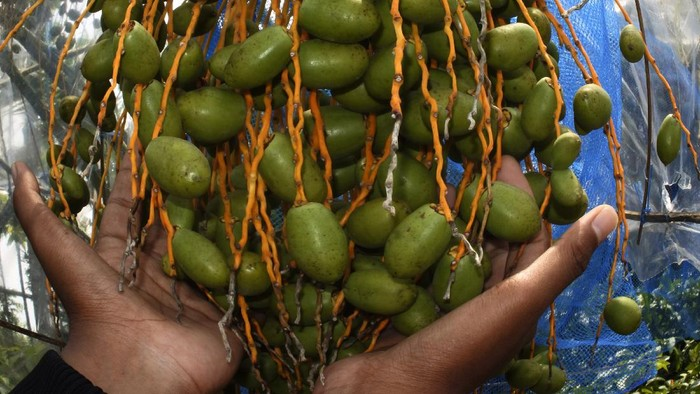 Pekerja merawat kurma Barhee di kawasan Agro Wisata Waras Farm, Cikerai, Cilegon, Banten, Minggu (18/4/2021). Petani setempat membudidayakan tanaman kurma Barhee yang menghasilkan buah lebih banyak dan lebih manis dari kurma sejenis yang dikembangkan di Timur Tengah. ANTARA FOTO/Asep Fathulrahman/rwa.