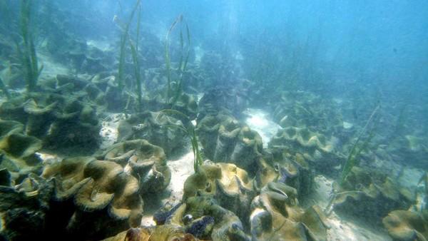 Menurut ahli konservasi, cangkang kerang raksasa digunakan sebagai bahan alternatif untuk produk mulai dari anting hingga lampu gantung. (AFP)