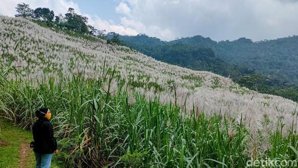 Kebun Tebu Gendu, begitu nama yang disematkan warga setempat kepada destinasi wisata yang terletak di Jalan Raya Kaligesing ini. Lokasi tepatnya ada di Gendu, Jatimulya, Girimulyo, Kulon Progo. (Jalu Rahman Dewantara/detikTravel)
