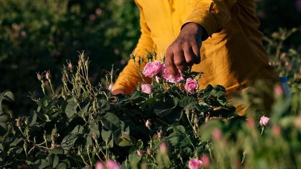 Setiap musim semi, kota ini menghasilkan bunga mawar terbaik untuk dipanen. (AFP)