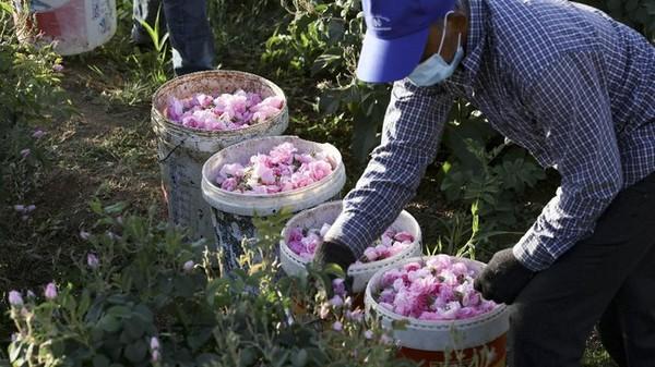 Panen bunga mawar ini dilakukan setiap bulan April. Kebetulan tahun ini bertepatan dengan bulan Ramadhan. (AFP)
