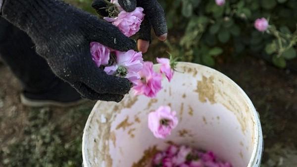 Di Taif ada sekitar 800 perkebunan mawar, lho.(AFP)