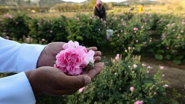 Di sana ada sekitar 300 juta bunga mawar yang mekar setiap tahun.(AFP)