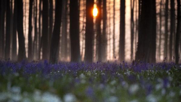 Taman dan hutan di Belgia, seperti sebagian besar kawasan Eropa, sedang memproduksi banyak warna dan aroma khas musim semi. Sayangnya tak ada kerumunan pengunjung yang biasa menikmatinya.