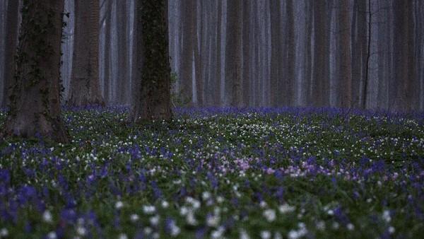 Saat musim semi, pemandangan Bunga Bluebell atau Eceng Gondok liar di Hutan Hallerbos, Belgia, menampilkan hamparan warna biru.