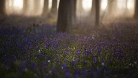 Cantiknya Eceng Gondok Liar Bermekaran di Hutan Belgia
