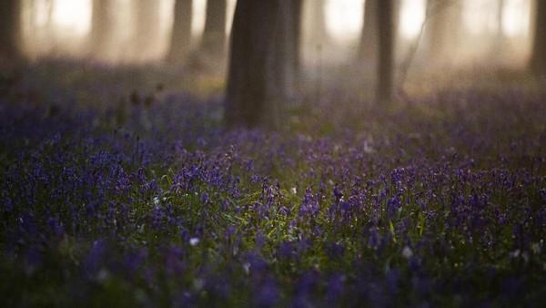 Aturan ketat selama pandemi terasa saat musim mekar Bunga Bluebell di Hutan Hallerbos, sekitar 15 kilometer di selatan Brussels.