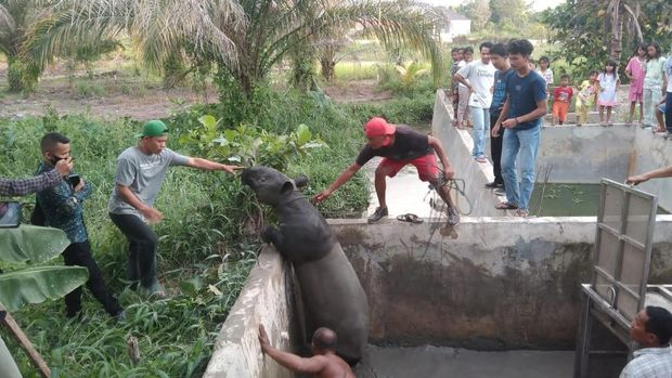 Tapir terperangkap di kolam.