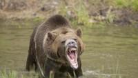 Nahas, Pemancing Dianiaya Beruang hingga Tewas