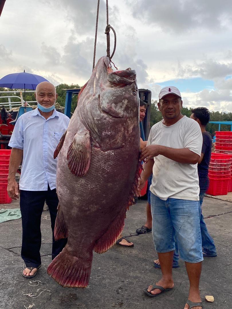 Gokil! Ikan Kerapu Seberat 161 Kg Ini Harganya Ditaksir Rp 42 Juta