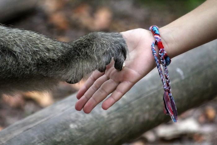 Monkey hand holding child hand