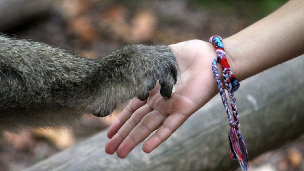 Wanita Ditolak Masuk Kebun Binatang Karena Jalin Hubungan dengan Simpanse