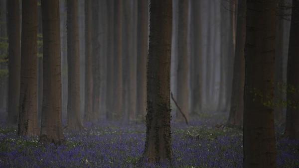 Bunga sakura di Jepang, ladang tulip Keukenhof di Belanda hingga Bluebell ungu di Hallerboss Belgia menunjukan pesonanya. Semua terlihat indah di musim semi ini. (AP)