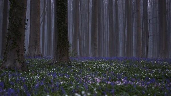 Biasanya, ada 100 ribu pengunjung yang datang dalam tiga pekan ke ladang bluebell ungu di Hallerboss, Belgia. Namun karena Corona, wisatawan tak diperkenankan melihat bunga-bunga indah tersebut. (AP)