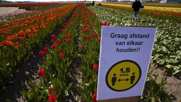 Sedangkan ladang tulip Keukenhof d Belanda memiliki 1,5 juta orang mengunjunginya dalam delapan minggu sebelum Corona. (AP)