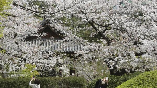 Bunga sakura di Jepang pun bermekar cantik pada bulan lalu. Namun tak seperti biasanya, ada larangan untuk tidak berkumpul saat menikmati keindahan sakura. (AP)