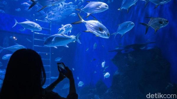 Seperti diketahui, Jakarta Aquarium Safari jadi salah satu tempat wisata yang ramai dikunjungi warga. Pasalnya di sana pengunjung juga dapat mengenal dan melihat beragam biota laut yang dipamerkan.