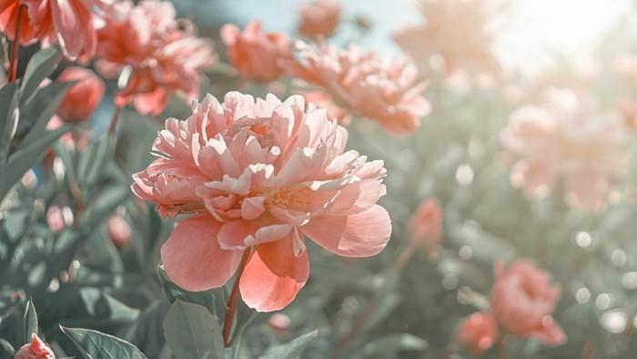 bunga peony