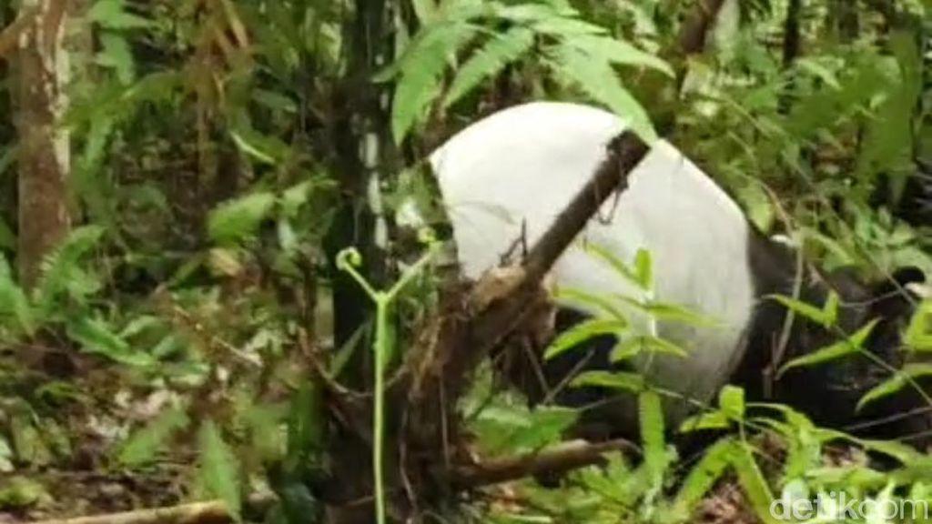 Tapir Masuk Jerat Babi di Hutan Riau, Hilang Saat Dievakuasi